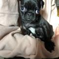 犬 パグ 黒